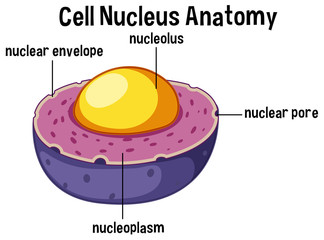 Animal cell nucleus anatomy