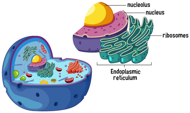 Magnified Animal Cell Diagram