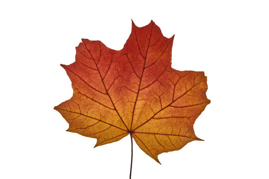 autumn maple leaf on white background, close-up, leaves texture, beautiful nature, yellow-red autumnal background