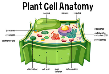 Plant Cell Anatomy diagram