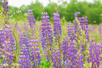 Purple flower lupine macro, close up. Blooming lupine flowers in meadow. Bright and saturated soft colors, blurred background.