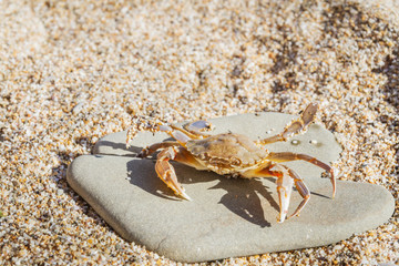 Live crab sitting on a flat stone on the beach