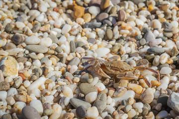 Live crab sitting on small stones on the beach in the summer