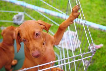 Hungarian Viszla puppy