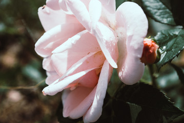 White rose with a slight pink tinge with raindrops