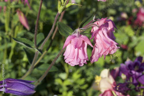 Close up view of pink bell shape columbine flowers in bloom stock close up view of pink bell shape columbine flowers in bloom mightylinksfo