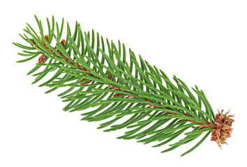Small twig of pine tree isolated on white background