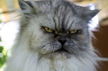 Angry, evil gray cat with unhappy expression, portrait close up,