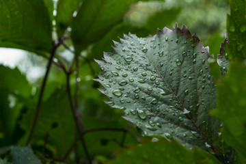 Green leaf covered by raindrops, macro photography.