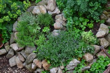 Medicinal herbs in herb spiral, late spring