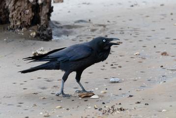 Raven call Kraa