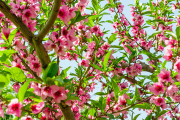 flowering of pink flowers of Japanese cherry blossoms