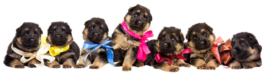 many puppies German Shepherd isolated