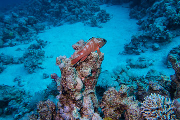 A Red Sea Coral Grouper observing his terrain