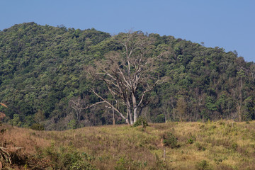 Huge, old tree standing on cultivated land in front of the jungle in the people'S republic of Laos