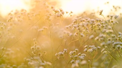 Fotoväggar - Beautiful meadow with wild flowers over sunset sky. Field of camomile medical flower, Beauty nature background with sun flare. Slow motion 4K UHD video 3840x2160