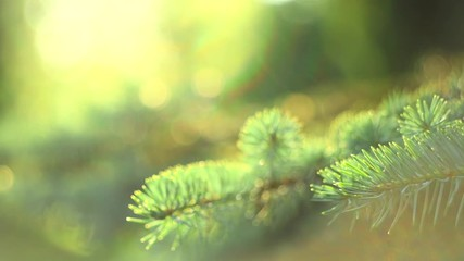 Fotoväggar - Blue Spruce growing in summer garden. Spruce outdoors, conifer needles closeup. Slow motion. 3840X2160 4K UHD video footage