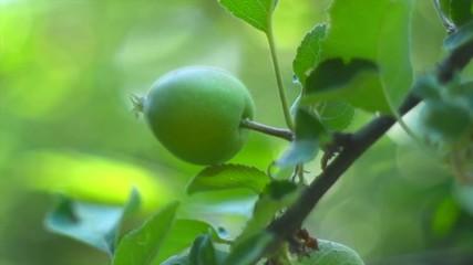 Fotoväggar - Apple tree. Organic apples hanging on branch in a garden. Green apples closeup. Slow motion 4K UHD video 3840x2160