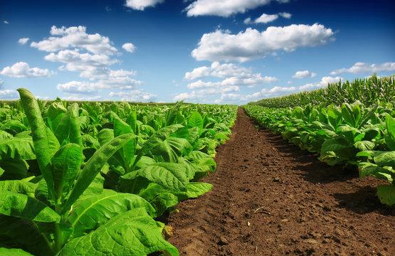 Tobacco big leaf crops growing in tobacco plantation field