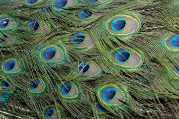 Beautiful Peacock feathers for background (Indian peafowl)