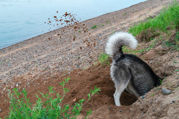 Dog digs hole in the sand on the beach. Clods earth flying from under his paws in different directions. Walk with pet by the river