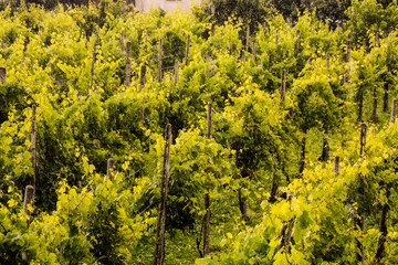landscape image of vineyards in the rain