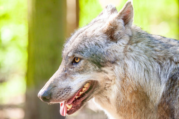 Portrait of a wolf in a forest