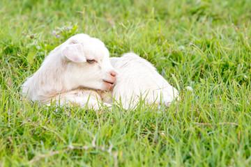 Newborn white baby kid goat pygmy goat in grass field