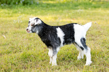 Grey and white baby kid goat in green grassy paddock