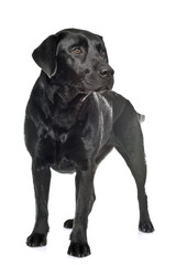 female black labrador retriever
