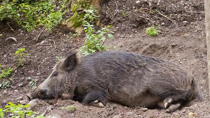 Wild boar sleeps in the forest