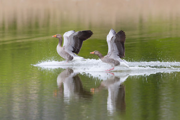 two gray geese birds (anser anser) landing on water surface