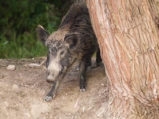 Wild boar, sus scrofa, Italy