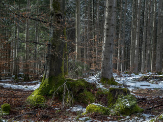 Snow remains in a mixed forest in the spring, Bavaria, Germany, Europe