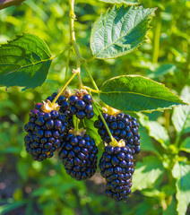 blackberry berries close-up