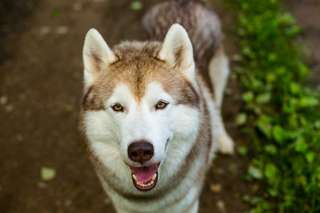 Close-up image of cute dog breed siberian husky in the forest. Portrait of friendly dog looks like a wolf