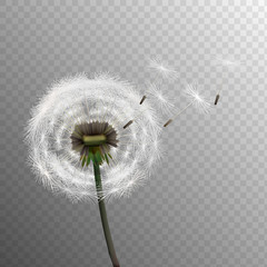 Stock vector illustration realistic dandelions isolated on a transparent background. Seed. EPS10