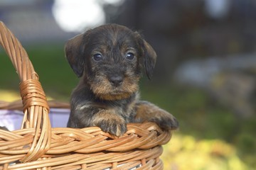 Dachshund (Canis lupus familiaris) puppy sitting in basket, Germany, Europe