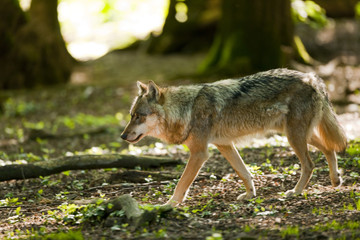 Wolf (Canis lupus) walking in a forest, captive, Lower Saxony, Germany, Europe