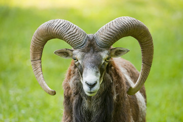 Mouflon (Ovis ammon musimon), ram, captive, Bavaria, Germany, Europe