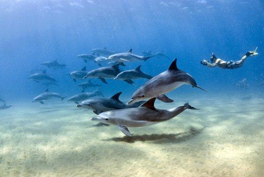 Bottlenose dolphin (Tursiops truncatus), Dolphin School and snorkeler, Sodwana Bay, South Africa, Africa