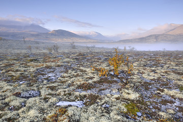 Downy Birch trees (Betula pubescens) and Reindeer Lichen (Cladonia rangiferina), fjell landscape with autumn fog, Rondane National Park, Norway, Europe