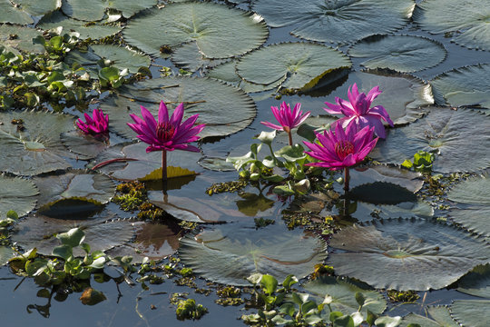 Lotus flowers (Nelumbo), Vembanad Lake, Kerala, South India, India, Asia