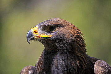 Golden Eagle (Aquila chrysaetos), adult, captive, Rhineland-Palatinate, Germany, Europe