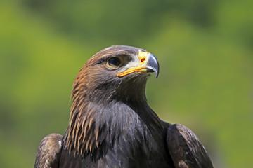 Golden Eagle (Aquila chrysaetos), adult, captive, Rhineland-Palatinate, Germany, Europe