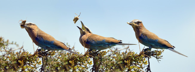 Purple roller (Coracias naevia), flipping a grasshopper into its mouth, photo sequence, Maasai Mara National Reserve, Narok County, Kenya, Africa