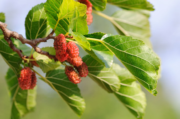 Mulberry fruits ripening on the tree branch. Red mulberries in nature