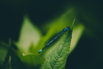 blue dragonfly on a green leaf in a forest