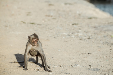 Monkey in Chonburi Thailand , Long-tailed macaque also known as Crab-eating macaque
