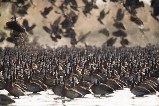 Flock of White-faced Whistling Ducks (Dendrocygna viduata), Djoudj National Park, Senegal, Africa
